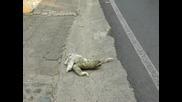 Ленивец преминава шосе, с човешка помощ*превод*