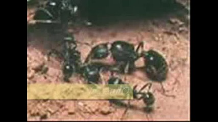Ku4ek - На Мравките Правех Път