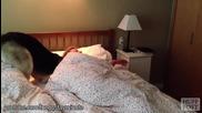 Кучета събуждащи сутрин стопаните си - компилация - смях