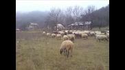 Ovce - Na Selo