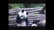 Панда Киха Много Здраво - Смях