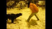 Cane Corso - тренировка с 2 кучета