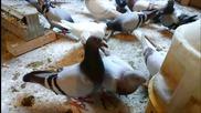 Спортни Гълъби - My sports Pigeons 2015