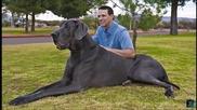 Най - огромните кучета в света