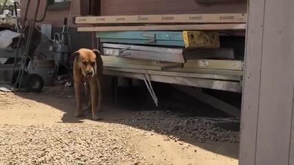 Това куче цял живот е прекарало само и вързано с верига !