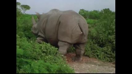 Носорог ражда - голям смях