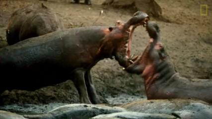 Как хипопотамите оцеляват в жегите?