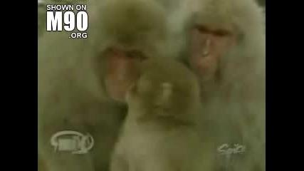 Маймуни Гейове - Смях