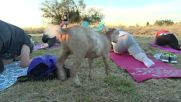 USA: No Kidding! Yoga classes with goats take off in Oregon