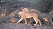 20 Лъва срещу Бивол - Това е живота