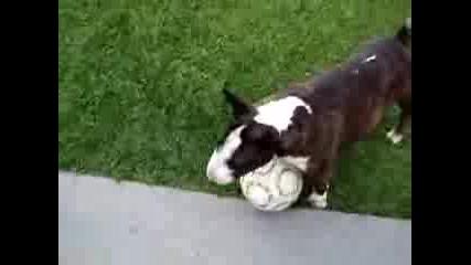 Бултериер - Футболист :)