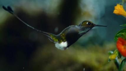 Как оцеляват колибритата?