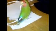 Папагал си прави пера!смях!