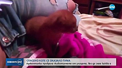 Спасено от аржентинка коте се оказа пума