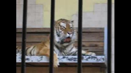 Тигърът Мърдок