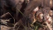 Кафявите качулати капуцини маймунки ..