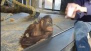 Маймунката схвана фокуса !