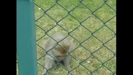 Маймунка Папка Семки