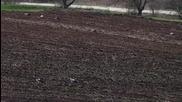 Щъркели се нахраниха в прясно разорана нива край Варна