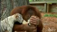 Орангутан Се Грижи За Тигърчета
