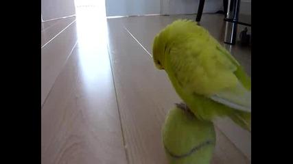 Папагал играе с топка