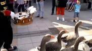 Гъски вървят под строй под фона на музикален марш! И такова нещо рядко се вижда!