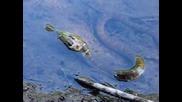 Змия се опитва да погълне слънчева риба