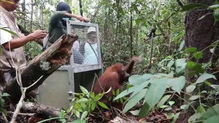 Indonesia: See orangutans rescued and released in Ketapang rainforest