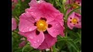 Цветя в дъжда ~ Вангелис