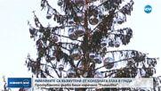РИМЛЯНИТЕ ВЪЗМУТЕНИ: Коледната елха в града – проскубана