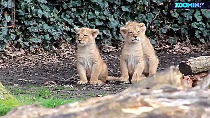 Как да научиш домашен лъв да ловува?