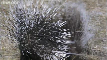 Leopard Vs Porcupine - - The Great Flood -