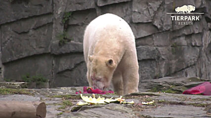 Germany: Polar bear Hertha celebrates 2nd birthday with special cake at Berlin's Tierpark