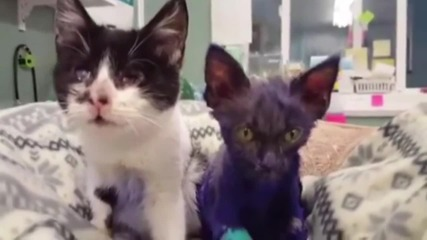 USA: Smurf the purple kitten gets new lease of life at California shelter