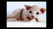 Lubima poroda kotka