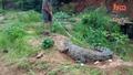 Крокодил брани снесените си яйца , гледач едва не изгубва живота си !