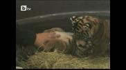 Два суматрийски тигъра в зоопарка в Сан Диего на 1 месец