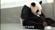 Бебе панда се прегръща с майка си ..