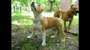 American Staffordshire Pitbull Terrier