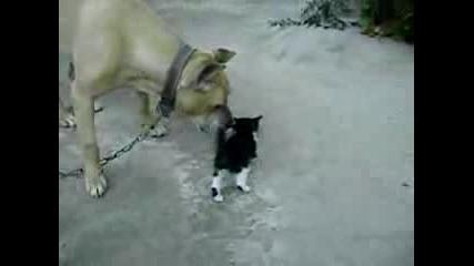 Pitbull Vs Kitten