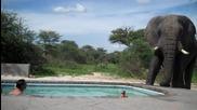 Слон Утолява Жажда от Басейн