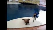 Веселият Танц На Един Тюлен