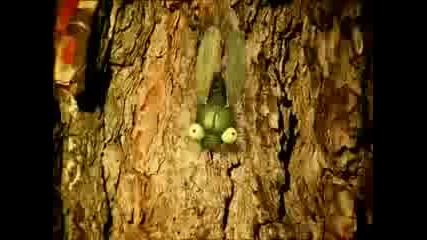 Minuscule - Latin cicada