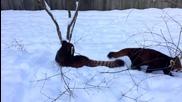 Палаво мече се радва на снега