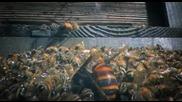 30 стършела убиват 30 000 пчели - Животът на Гигантските Японски Стършели..