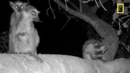 On Assignment: Lemurs' Wild Nightlife