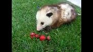 Опосум похапва ягодки