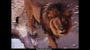 Lion`s - Снимкии На Лъвове