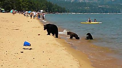 Три мечки изненадаха хора на плажа