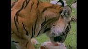 Кои Са Тигрите?!